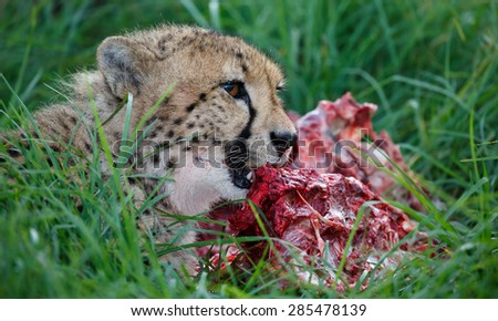 Cheetah wild cat eating from a freshly killed animal - stock photo