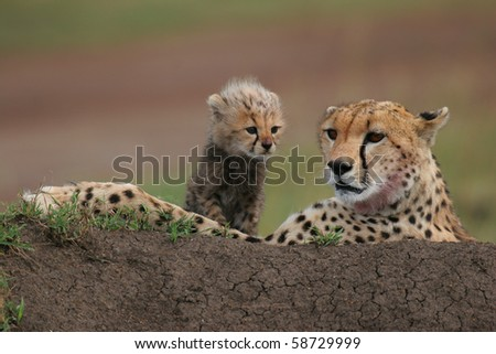 Cheetah with cub, Acinonyx jubatus lying on anthill in Masai Mara