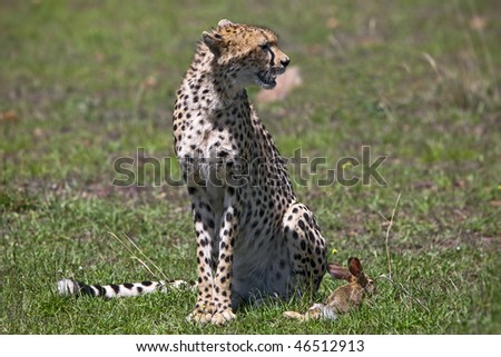 Cheetah with hunted rabbit. Masai Mara. Kenya