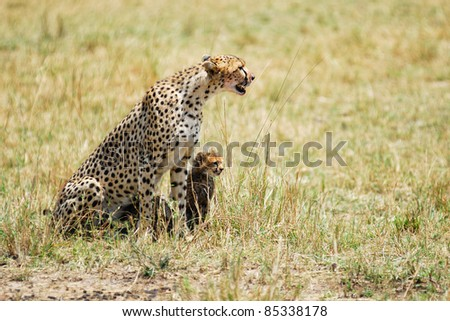 Cheetah with young cub in Masai Mara, Kenya - stock photo