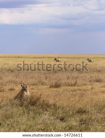 Cheetah with Zebras in the Background - stock photo