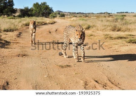 Cheetahs - stock photo