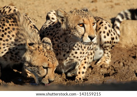 Cheetahs (Acinonyx jubatus) drinking water, Kalahari desert, South Africa  - stock photo
