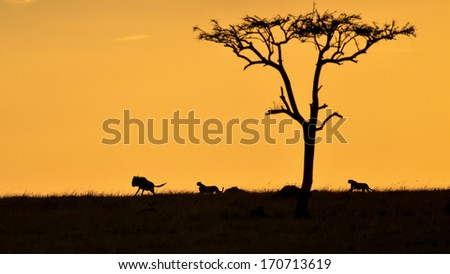 Cheetahs chasing a Wildebeest at sunset