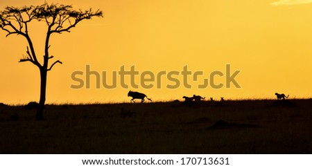 Cheetahs chasing a Wildebeest at sunset - stock photo