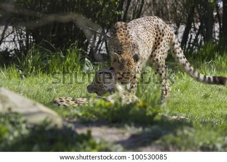 Cheetahs in Love - stock photo