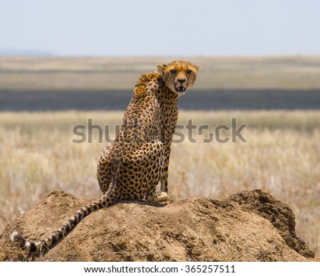 Cheetahs on the hill in the savannah. Kenya. Tanzania. Africa. National Park. Serengeti. Maasai Mara. An excellent illustration. - stock photo