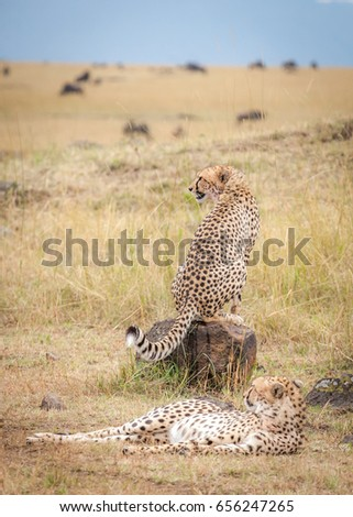 Cheetahs relaxing with wildebeest in the background, Masai Mara, Kenya