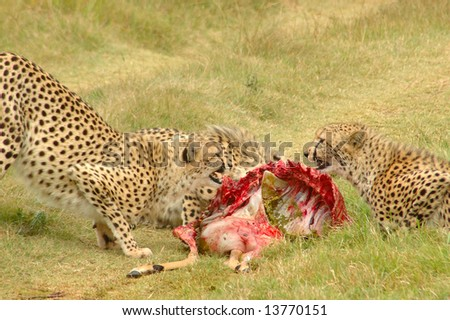 Cheetahs with kill fighting while feeding in a game reserve in South Africa - stock photo