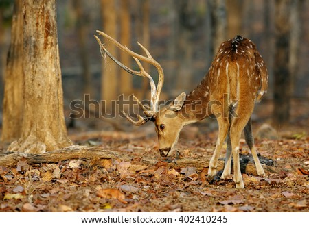 Cheetal deer in Pench National Park