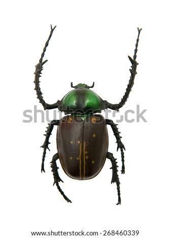 Cheirotonus jansoni beetle - stock photo
