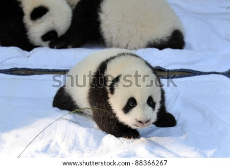 CHENGDU, CHINA - OCTOBER 16: A newborn panda cubs are presented to the public on October 16, 2011 in Chengdu, China. Pandas are an endangered species and only about 1,500 live around the world today. - stock photo