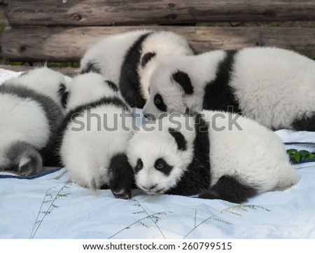 CHENGDU - OCTOBER 16: new born panda cubs are presented to the public on October 16, 2011 in Chengdu, China. Pandas are an endangered species and only about 1,500 live around the world today. - stock photo
