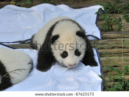 CHENGDU - OCTOBER 16: new born panda cubs are presented to the public on October 16, 2011 in Chengdu, China. Pandas are an endangered species and only about 1,500 live around the world today.