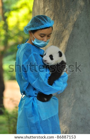 CHENGDU - OCTOBER 16: Unidentified caretaker inspects a 2-month-old panda cub on October 16, 2011 in Chengdu, China. Pandas are an endangered species and only about 1,500 live around the world today. - stock photo