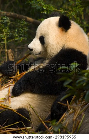 Chengdu,Sichuan Province,China-October 9,2007:Chengdu Research Base of Giant Panda Breeding, is a non-profit research and breeding facility for giant pandas and other rare animals.