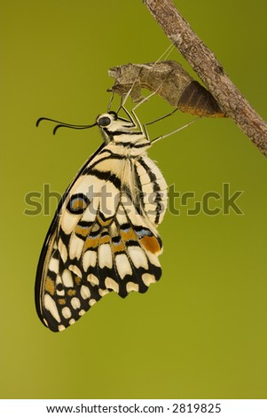 Chequered swallowtail  (Papilio demoleus sthenelus)butterfly emerged from its chrysalis draying wings - stock photo