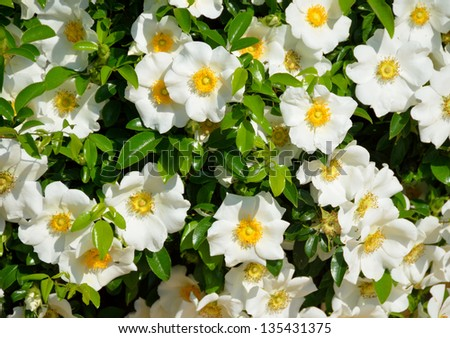Cherokee Rose the official state flower of Georgia, USA. - stock photo