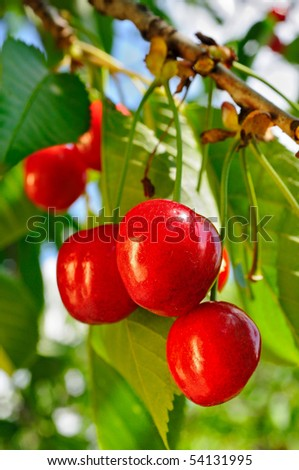 Cherries on a tree  in the orchard - stock photo