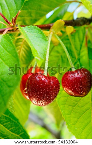 Cherries on a tree with water-drops on it after rain - stock photo