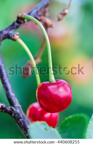 Cherries on the tree. Close-up - stock photo