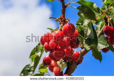 Cherries tree, cherries on the tree and blue sky background. Blue sky with white clouds. 