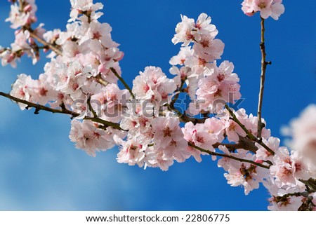 cherry almond blossom in spring