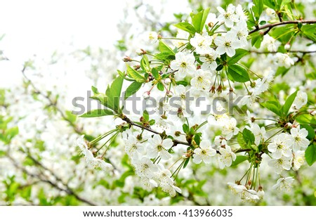 Cherry apple blossoms over nature background Spring flowers Spring Background  - stock photo