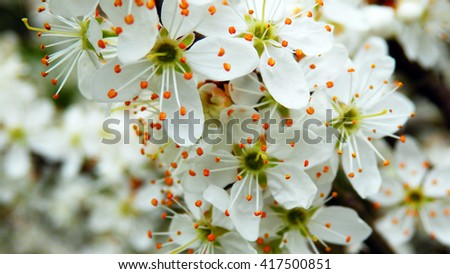 Cherry Blooms Detail.Spring Macro Photography of Blooming Cherry Tree. - stock photo