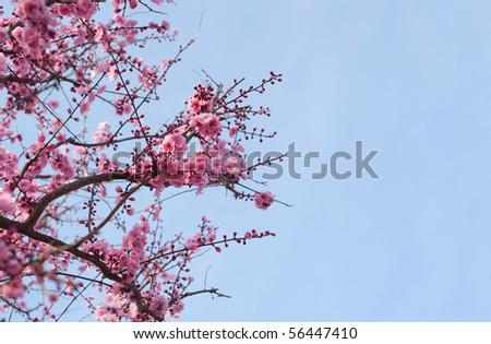 cherry blossom against a brilliant blue sky - stock photo