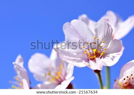 Cherry blossom against blue sky - stock photo
