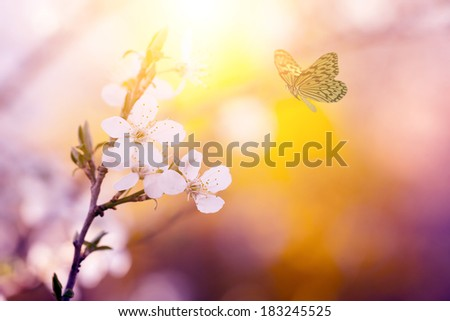 Cherry blossom and butterfly  - stock photo