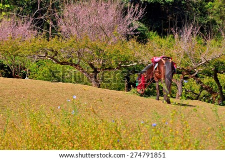Cherry blossom and plum tree with horse  at doi angkhang mountain, Chiangmai : Thailand - stock photo
