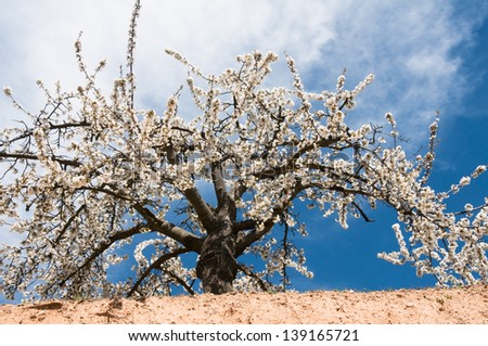 Cherry blossom at Caderechas valley, Castile-Leon (Spain)