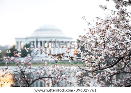Cherry blossom at washington, dc. View of Jefferson memorial in early morning. Shot taken at Tidal Basin. Not the peak bloom at the time. - stock photo