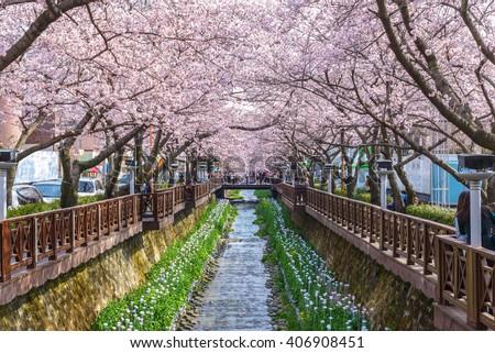 Cherry blossom at Yeojwacheon Stream, Jinhae, South Korea - stock photo