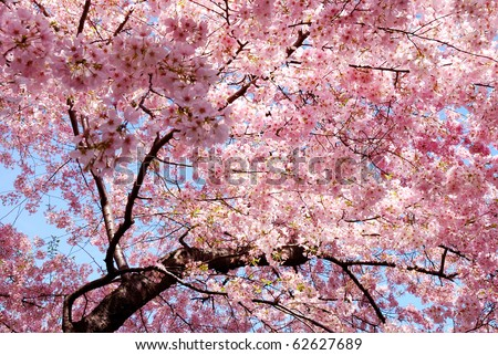 cherry blossom background with lovely pink color - stock photo