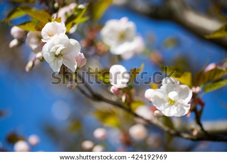 Cherry blossom background with spring day.