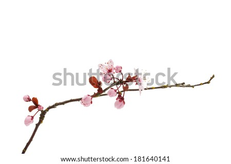 Cherry Blossom Branch - stock photo