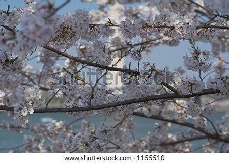 Cherry Blossom Branches with the Washington Monument in the background - stock photo