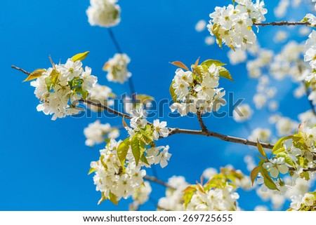Cherry blossom, cherry tree, bud, shallow depth of field. - stock photo