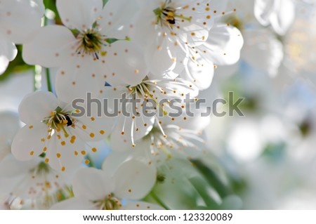 Cherry blossom close-up. Shallow depth of field. - stock photo