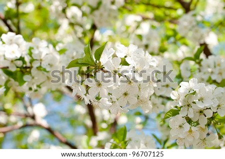 Cherry blossom close-up. Shallow depth of field. - stock photo