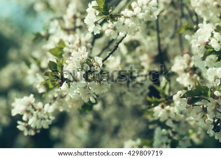 Cherry blossom close-up with white beautiful fresh flowers sunny day, floral natural background