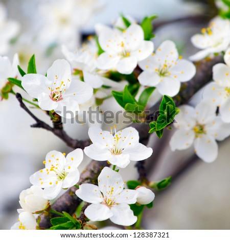 Cherry blossom closeup - stock photo