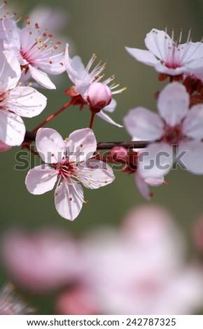 Cherry Blossom Closeup with Beautiful Bokeh - stock photo