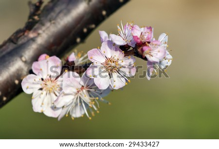 Cherry blossom flowers at spring.