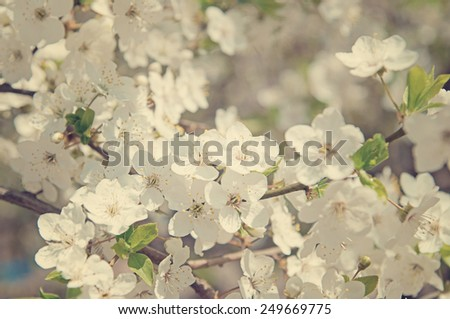 Cherry blossom flowers in spring - stock photo