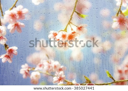 Cherry Blossom flowers or Sakura flower in the drops rain under glass with spring soft blur background - stock photo