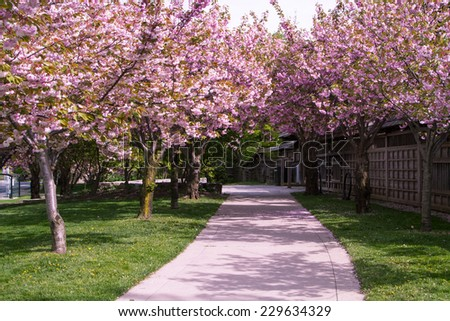 Cherry blossom flowers or Sakura in full bloom at the park